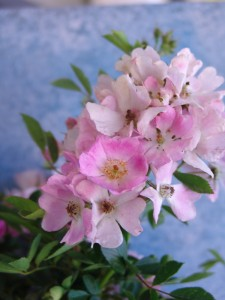 Pink Climbing Rose 1