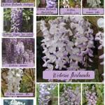 wisteria october