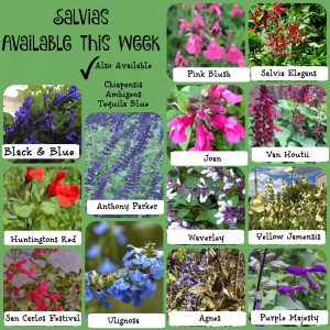 Salvias Feb 16