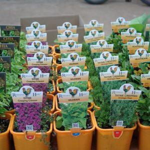 Renaissance Herbs